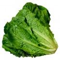 Lechuga de hojas verdes